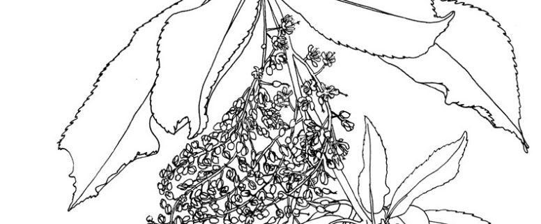 Japanse clethra, Clethra barbinervis July Leesberg